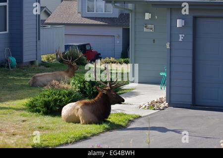 Le wapiti (Cervus canadensis) stag reposant à l'extérieur chambre pendant le rut Estes Park Larimer Comté Les Rocheuses Banque D'Images