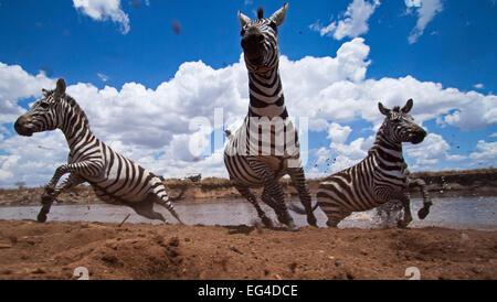 Zèbre Des Plaines ou commune troupeau traversant la rivière Mara - Point de vue grand angle (Equus quagga burchellii). Banque D'Images