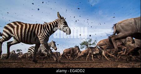 Conjoint ou zèbre des plaines (Equus quagga burchelli) le gnou barbu (Connochaetes taurinus) troupeau mélangé d'exécution. Banque D'Images