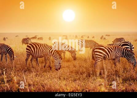 Troupeau de zèbres sur la savane au coucher du soleil, l'Afrique. Safari dans le Serengeti, Tanzanie Banque D'Images