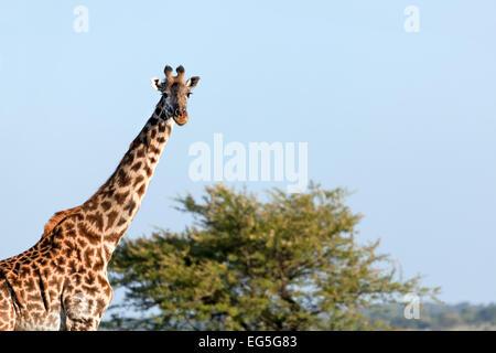 Savane girafe sur portrait. Safari dans le Serengeti, Tanzanie, Afrique du Sud Banque D'Images