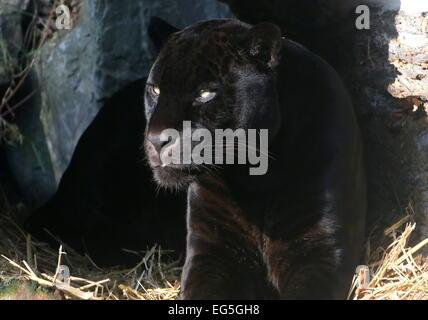 Melanistic Jaguar noir d'Amérique du Sud (Panthera onca), gros plan de la tête et le haut du corps