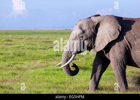 Portrait de l'éléphant sur savane africaine. Safari à Amboseli, Kenya, Africa Banque D'Images