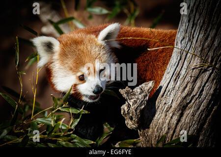 Le panda rouge dans le zoo d'Oklahoma City. Banque D'Images