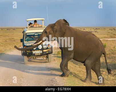AMBOSELI, KENYA - Septembre 18, 2008: Elephant safari dans le Parc national Amboseli, Kenya Banque D'Images