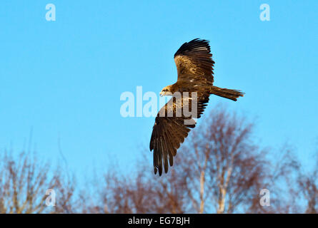 Milan noir (Milvus migrans) en vol