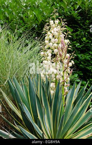 Yucca Gloriosa variegata en fleur Banque D'Images