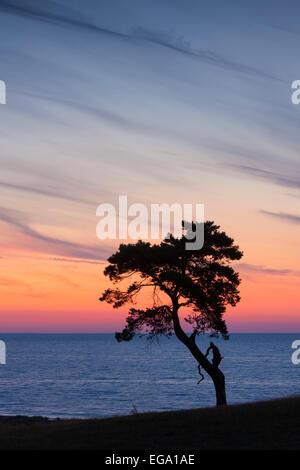 Le pin sylvestre (Pinus sylvestris), arbre solitaire le long de la côte qui se profile à l'aube sur la mer Banque D'Images