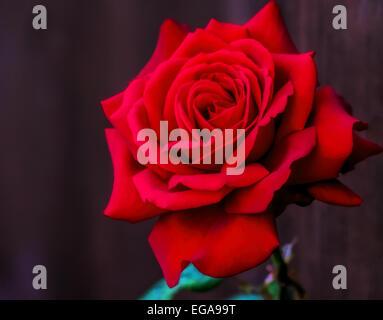 Flower,cadeau,nature,rouge,rose,single,background,amour,,pétales de fleurs,saint valentin,amour,romantique,symbole,anniversaire,fête,dating Banque D'Images