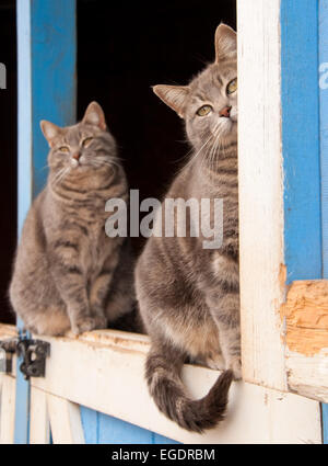 Paire de bleu tabby cats assis sur le dessus d'une porte d'une grange bleu Banque D'Images