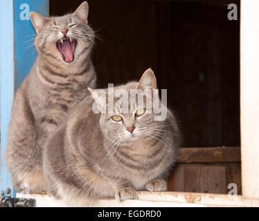 Deux beaux chats tabby bleu sur le dessus d'une porte d'une grange bleu Banque D'Images