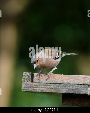 Chaffinch oiseaux mâles sur le tableau Banque D'Images