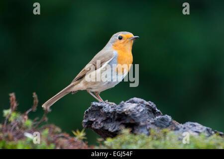 Robin (Erithacus rubecula aux abords), de l'Ems, Basse-Saxe, Allemagne Banque D'Images