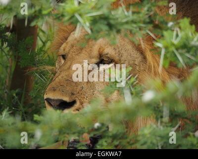 Grande crinière d'or male lion (Panthera leo) avec des cicatrices au visage en Tanzanie Selous assis en profonde Banque D'Images