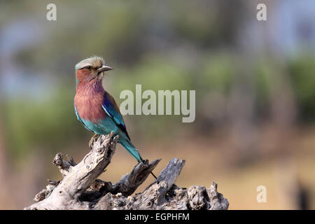 Lilac-breasted roller perché sur branche morte au Botswana