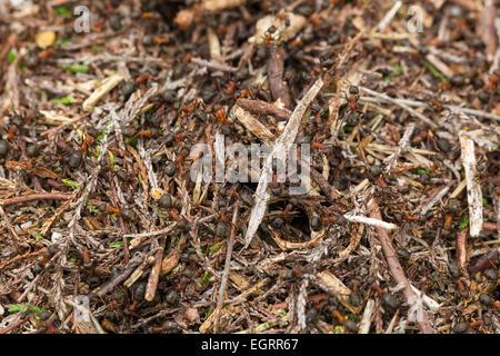 Formica rufa fourmi rouge, soldats qui gardaient la colonie de nidification, Arne, Dorset, UK en mai.