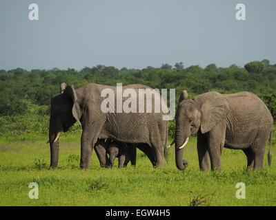 Deux éléphants d'Afrique adultes (Loxodonta Africana) avec petit veau sous la mère le pâturage paisiblement dans Banque D'Images