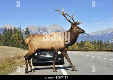 Un bull elk traversant l'autoroute 16 à Jasper National Park en face de la circulation du véhicule Banque D'Images