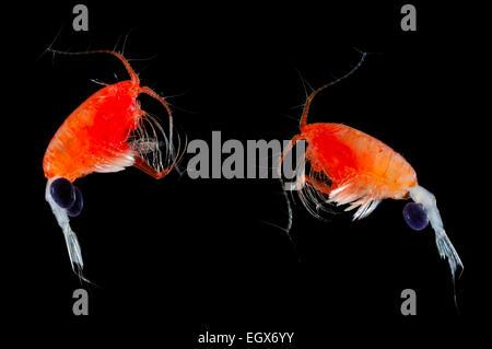 Les Copépodes copépodes   Ruderfußkrebs