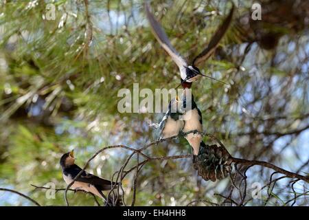 La Croatie, l'hirondelle rustique (Hirundo rustica), les jeunes oiseaux ont quitté le nid en attente d'être nourri Banque D'Images