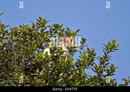 Brésil, Mato Grosso, région du Pantanal, vautour pape (Sarcoramphus papa), perché dans un arbre Banque D'Images