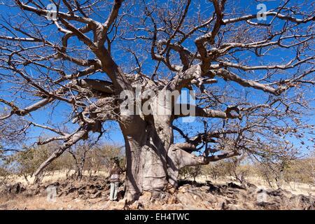 La Namibie, région de Kunene Kaokoland, touristiques, en face de baobab sur la route entre Opuwo et Sesfontein Banque D'Images