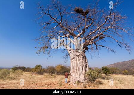 La Namibie, région de Kunene, Kaokoland, baobab sur la route entre Opuwo et Epupa Banque D'Images
