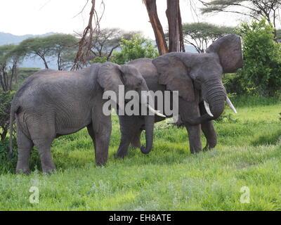 Deux bull l'éléphant (Loxodonta Africana) montrant dans l'épreuve de force entre les arbres dans le Ruaha N P Tanzanie Banque D'Images