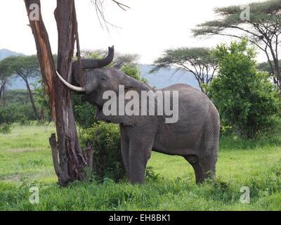 L'éléphant africain (Loxodonta Africana) avec de grandes défenses montrant force en poussant l'écorce du tronc de Banque D'Images