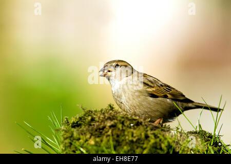 Sparrow dans un jardin Banque D'Images