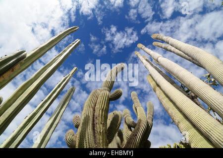 Cactus ou Cactus dans les jardins exotiques ou Jardin Exotique de Monaco Monaco Jardin Botanique Banque D'Images