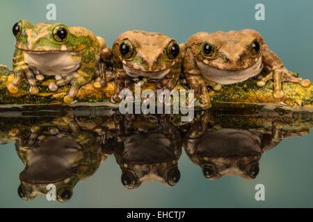 Groupe de grenouilles d'arbre de paon reflétées dans l'eau, assis sur une branche avec un fond vert, groupe de 3 Banque D'Images