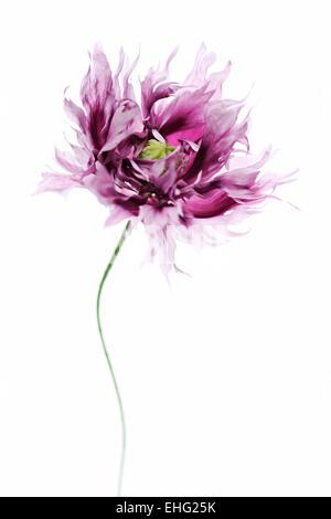 Papaver somniferum pavot x - fleurs sur fond blanc Banque D'Images