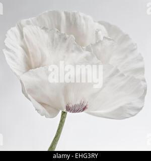 Papaver orientale - Pavot d'Orient fleurs sur fond blanc Banque D'Images