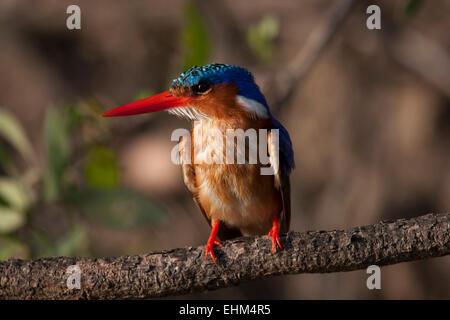 Martin-pêcheur huppé (Alcedo cristata) perché sur une branche. Banque D'Images