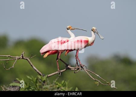 Roseate Spoonbill Platalea ajaja, paire, en plumage nuptial Banque D'Images