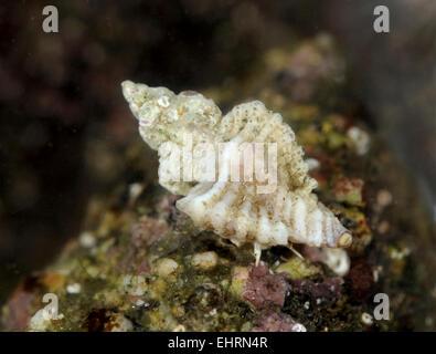 Sting européenne Winkle - Ocenebra erinacea