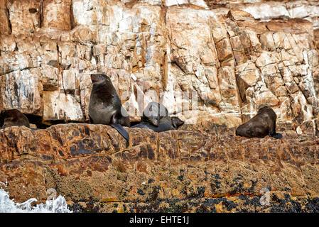 Colonie de Brown (Arctocephalus pusillus) en face de Plettenberg Bay, Western Cape, Afrique du Sud Banque D'Images