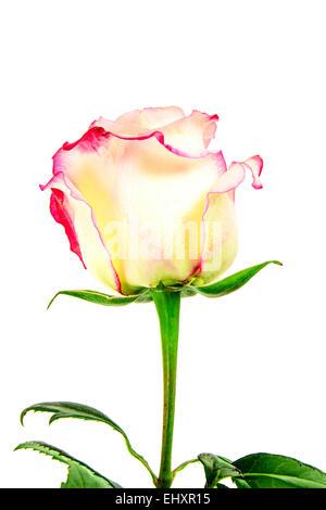 Belle Rose rouge et blanc tiges. Isolé Banque D'Images