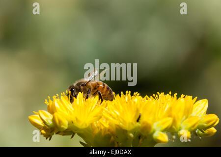 L'abeille européenne sur l'orpin jaune fleurs.