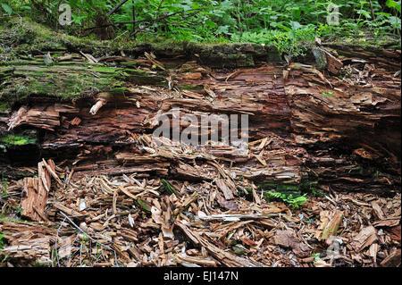 Tronc d'arbre tombé en décadence laissés à pourrir sur le sol de la forêt comme bois mort, de l'habitat pour les Banque D'Images