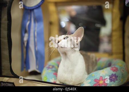 Rishon Lezion, Israël. Mar 21, 2015. Un chat Oriental est au repos, au cours d'une exposition de chat qui a eu lieu Banque D'Images