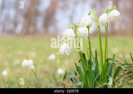 La fleur le perce-neige de printemps Leucojum glade brillant au printemps la forêt. Stock photo avec shallow DOF Banque D'Images