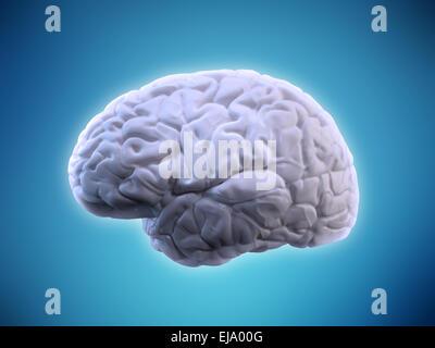 Illustration du cerveau humain - l'anatomie humaine Banque D'Images