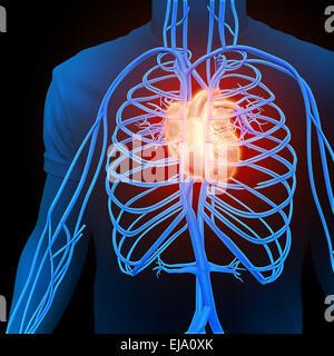 Les droits de l'appareil circulatoire - illustration médicale Banque D'Images