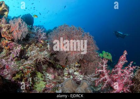 Les plongeurs d'explorer un récif de corail avec les coraux mous dans une variété de couleurs pastel. Spratley, Mer de Chine du Sud. Juillet, 2014