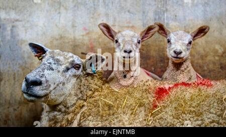 Un portrait de famille rendu fortement une brebis avec sa jumelle à agneaux si mignon sur son dos, dans un enclos Banque D'Images
