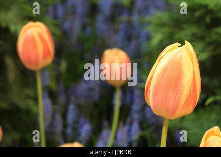 Tulipes de pêche Banque D'Images
