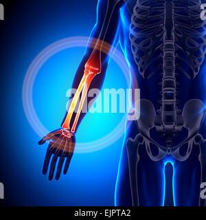 Rayon homme / cubitus - avant-bras - os anatomie Banque D'Images