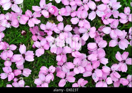 Le silène acaule / rose coussin (Silene acaulis) en fleurs